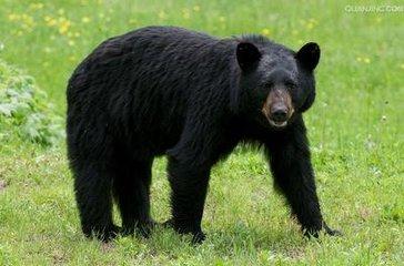周公解梦 做梦梦见黑熊