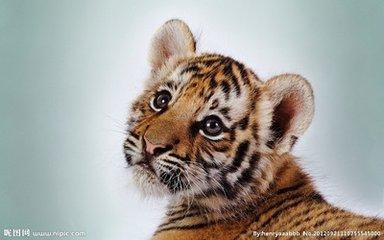 豹 豹子 壁纸 动物 虎 老虎 桌面 384_240
